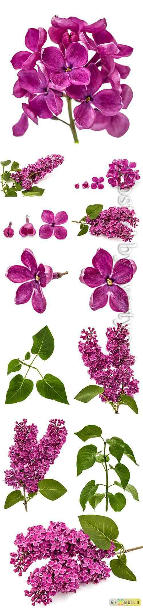 Lilac beautiful stock photo