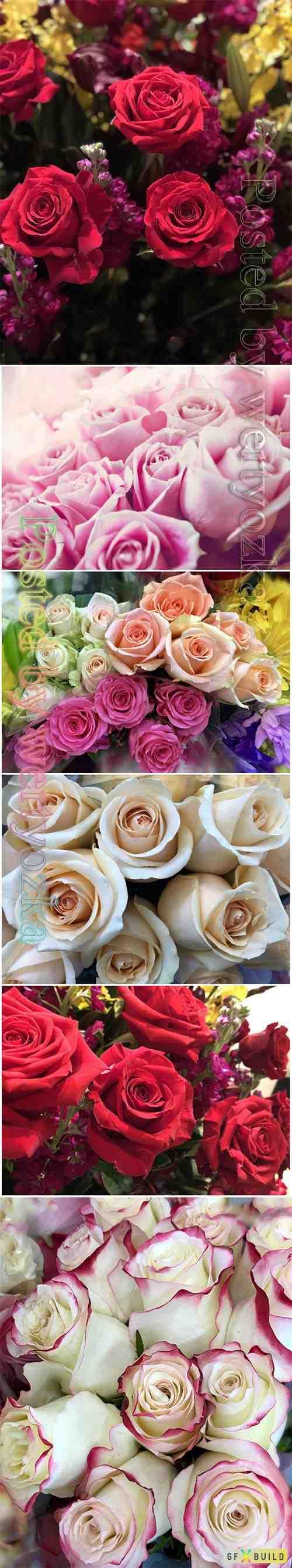 Roses beautiful stock photo