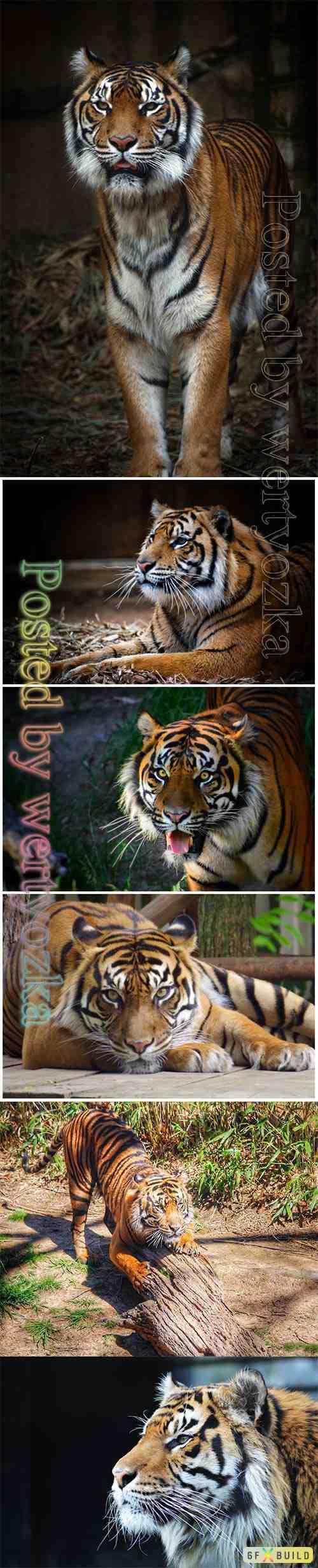 Tiger beautiful stock photo