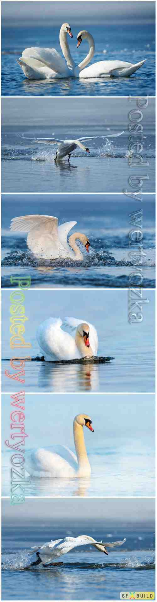 Beautiful swans stock photo