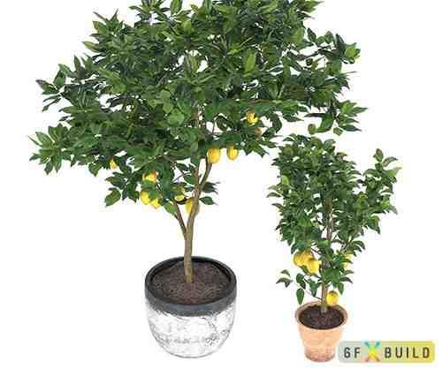 Two lemon trees