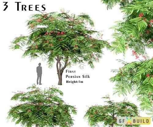 Set of Persian Silk Trees (Albizia julibrissin)