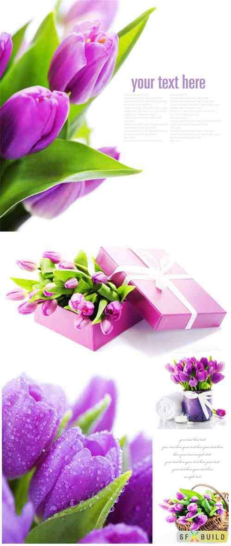 Lilac tulips on white background stock photo